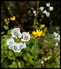 Wildflowers @ Connaught Peak by Indianature16