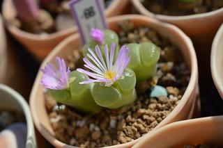 DSC_0380 Conophytum(=Ophthalmophyllum) lydiae f.harmoepense