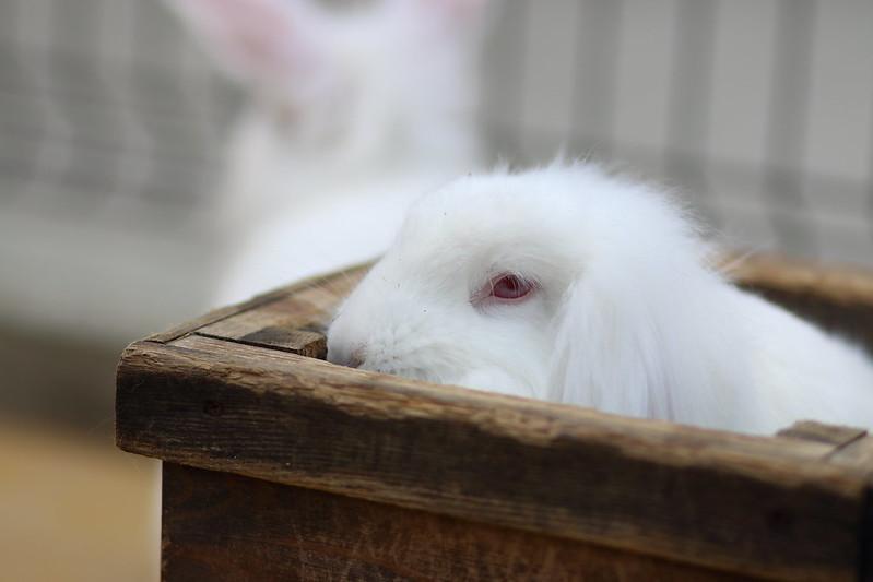 ウサギ(日本白色種 )/ rabbit