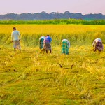 27. November 2015 - 15:40 - Rice farmers spend together in Bangladesh © Shoikot PhotoGraphy - All rights reserved. www.facebook.com/shoikot71 ধান কাটায় ব্যস্ত কৃষক ।