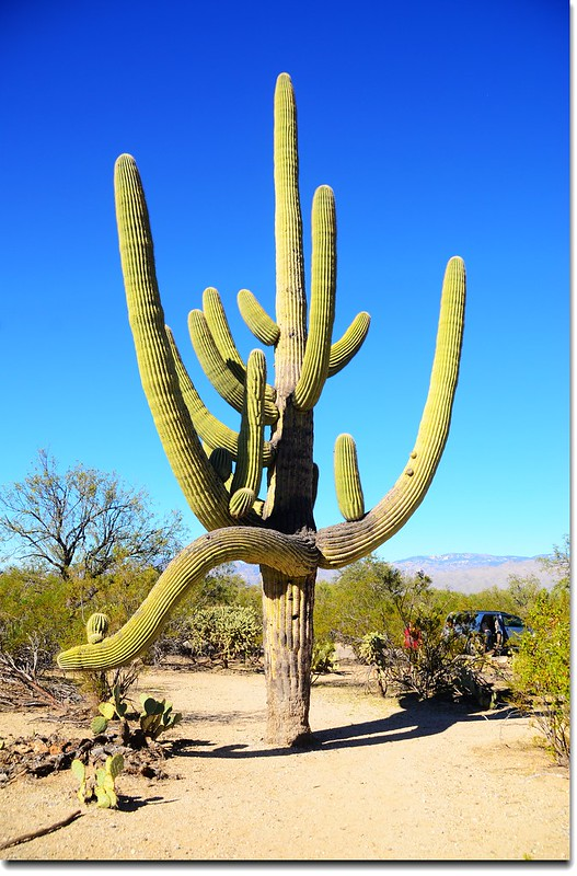 Saguaros growing on the Rincon Mountain District 7