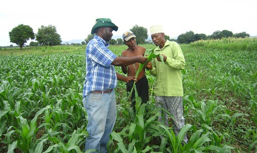 Bright Jumbo (left) examines a maize plant for MLN symptoms together with two Tanzanian farmers. Photo credit: Gloriana Ndibalema/IITA