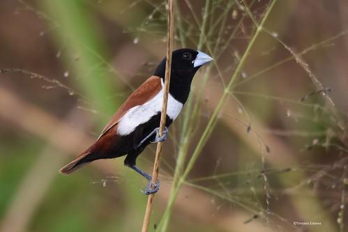Monjita Tricolor (2)