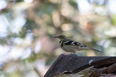 forest-wagtail_28381096422_o