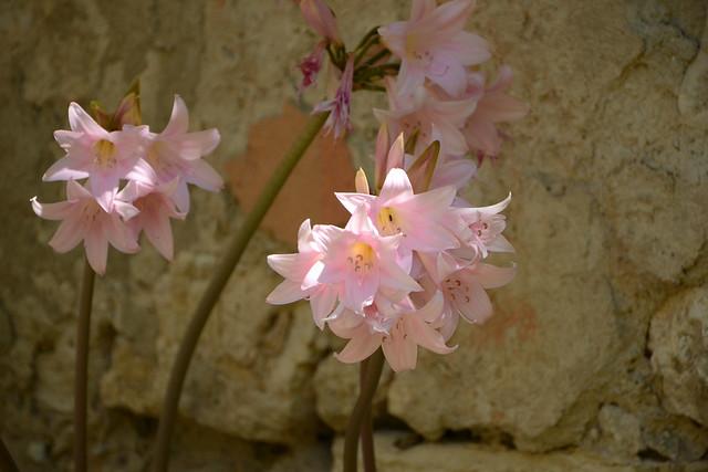 Amaryllis belladona - Page 2 32263331060_6a8d594548_z
