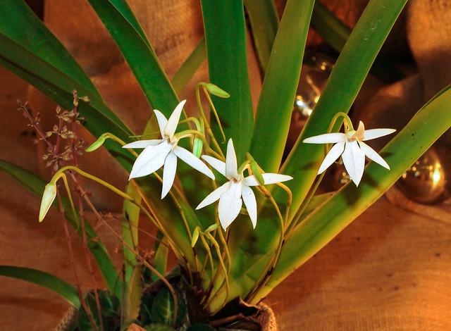 Jumellea arachnantha; Orchidaceae (1)
