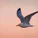 Gull on Torrey