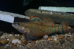 Kentucky arrow darter fish