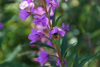 459 Fireweed met insecten