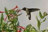 hover bird