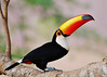 Wild Toco Toucan - The Pantanal by Susan Roehl 4M views
