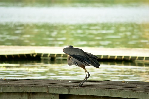 Blue Heron about to Take Flight from a lakeshore dock