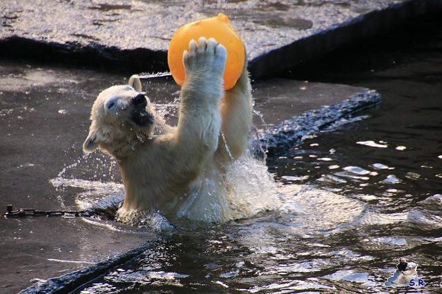 Eisbär Fiete im Zoo Rostock 26.09.2015   04