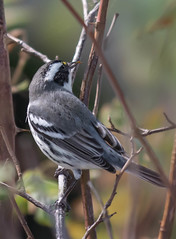 Black-throated Gray Warbler (Setophaga nigrescens)