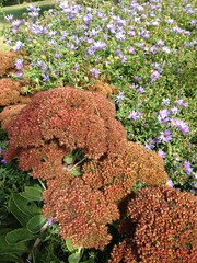 Sedum and asters show their Fall colors