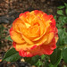 Yellow-Orange Wild Rose Flower - Kingston - ACT - Australia - 20151026 @ 13:05 by MomentsForZen