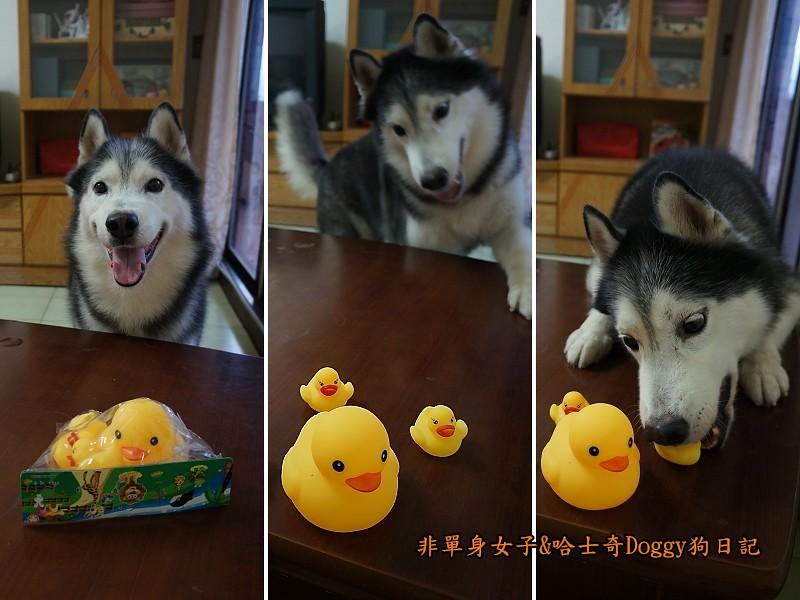 哈士奇doggy與啾啾玩具黃色小鴨03