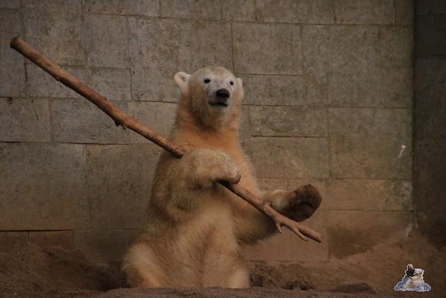 Eisbär Fiete im Zoo Rostock 12.12.2015   227