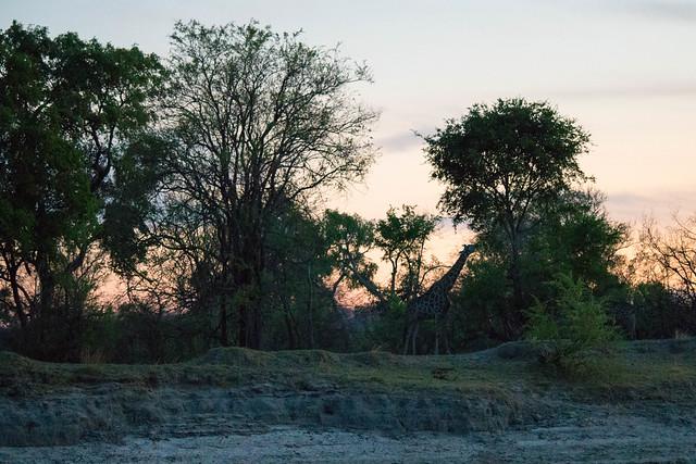 After-sunset giraffe