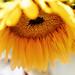 Sunflower Soft by Cat Man!