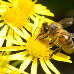 Bee feeding in Summer