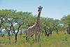 Giraffe - Girafe - Jirafa - Giraffa camelopardalis by elgalopino