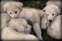 animal, puppy, dog, mammal, greenland dog, great pyrenees,