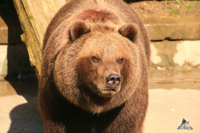Eisbär Fiete im Zoo Rostock 06.09.2015  0234