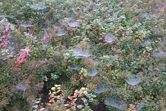 Autumn bush with spider webs