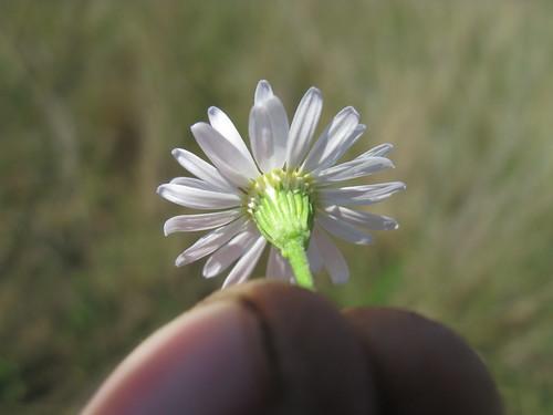 Minuria leptophylla head5 NC