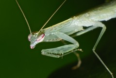 Praying mantis Mantidae Mantodea of Whitsunday Shire