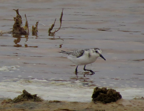 Sanderling Calidris alba Martinhal, Algarve September 2015
