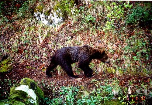 Miel Outurelos, oso con prisa fuente FAPAS