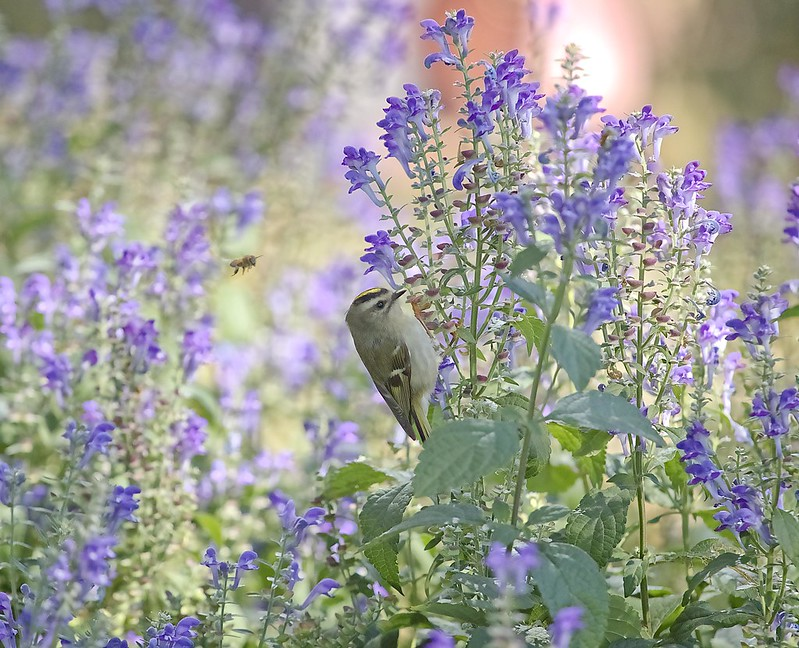 Golden-crowned kinglet with bee
