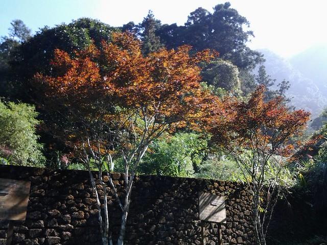 溪頭的楓葉49