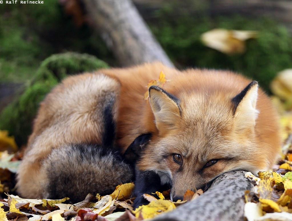 Fox -  Parc Animalier de Sainte-Croix October 2015 02