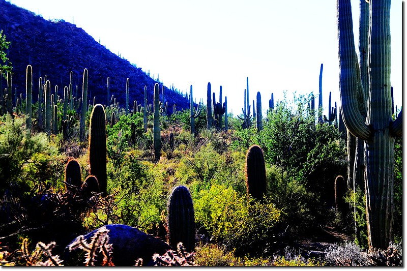 Saguaros growing on the national park 2