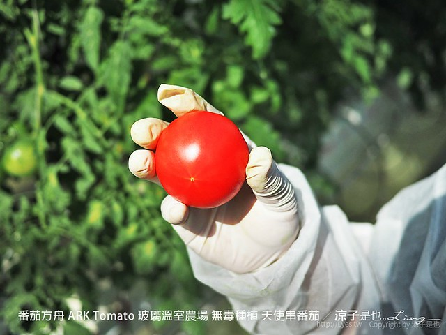 番茄方舟 ARK Tomato 玻璃溫室農場 無毒種植 天使串番茄 43