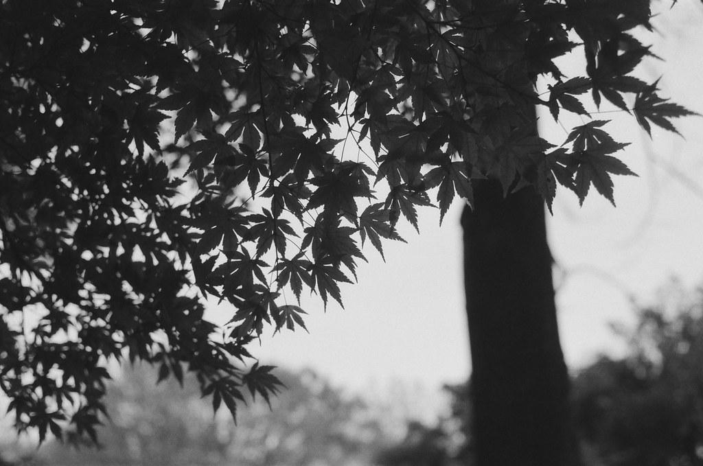 光が丘 Tokyo, Japan / Ultrafine Extreme / Nikon FM2 用黑白來掩飾一些缺陷,這裡的楓葉有些不完美,想說把顏色去掉,用黑白底片來紀錄。  留下一些輪廓就好,模模糊糊的狀態也好。  Nikon FM2 Nikon AI AF Nikkor 35mm F/2D Ultrafine Extreme 400 9084-0007 2016/11/20 Photo by Toomore