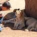 Lion Friends by Aron Durkin