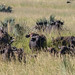 Small photo of African buffalo