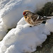 Redpoll on snow by arenkert