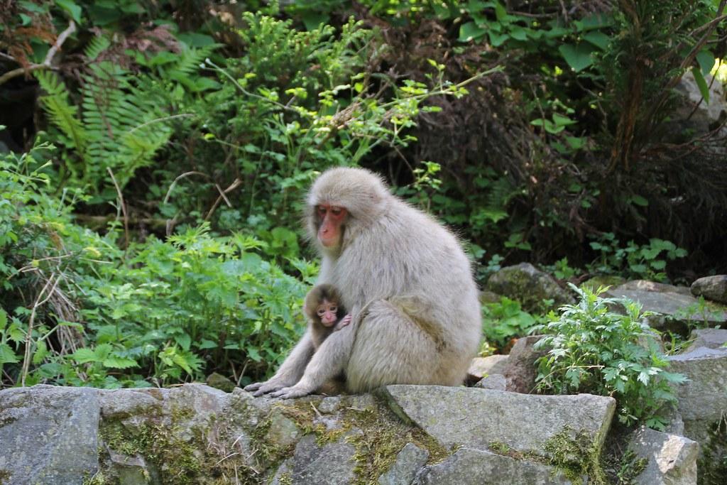 Jigokudani Monkey Park (8)