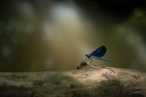 The blue sphynx