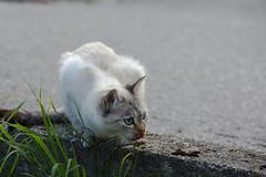 Cat with blue eyes / Katze mit blauen Augen