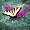 Swallowtail butterfly #summer