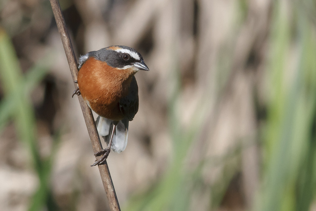 a9bb672a29 Poospiza nigrorufa - Siete Vestidos - Black-and-rufous Warbling-Finch