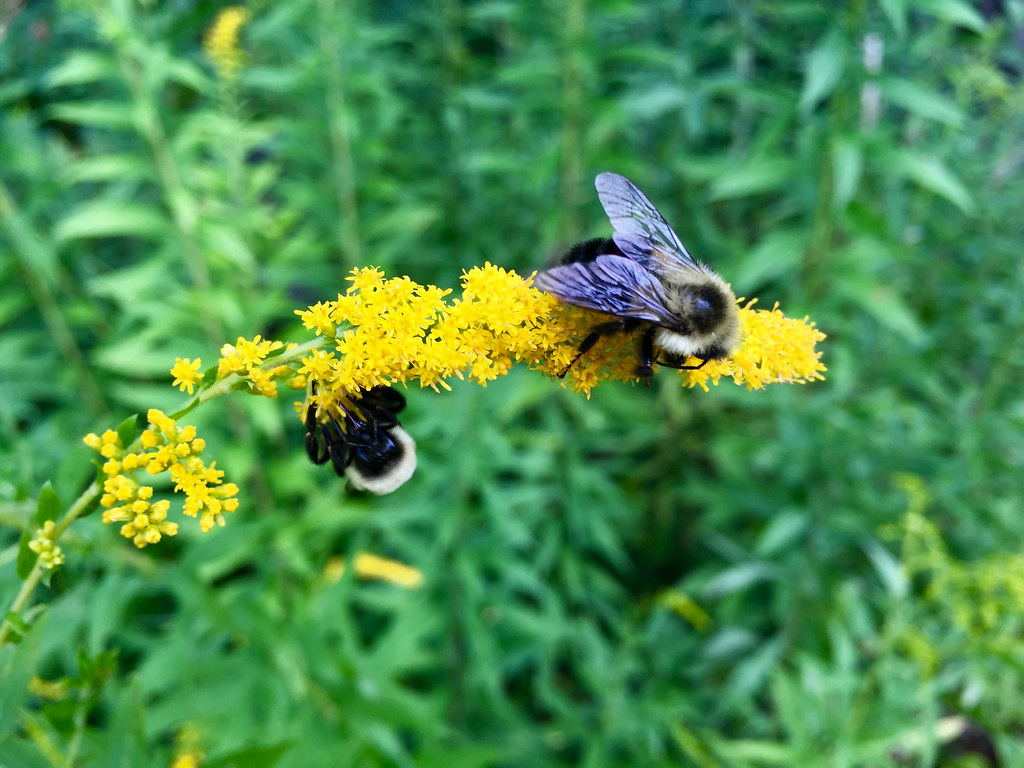 Bees harvesting goldenrod nectar