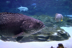 Grouper at Atlanta Aquarium