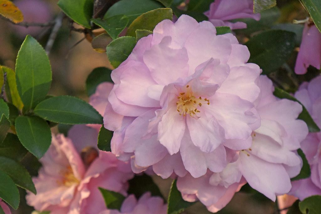 November Camellia